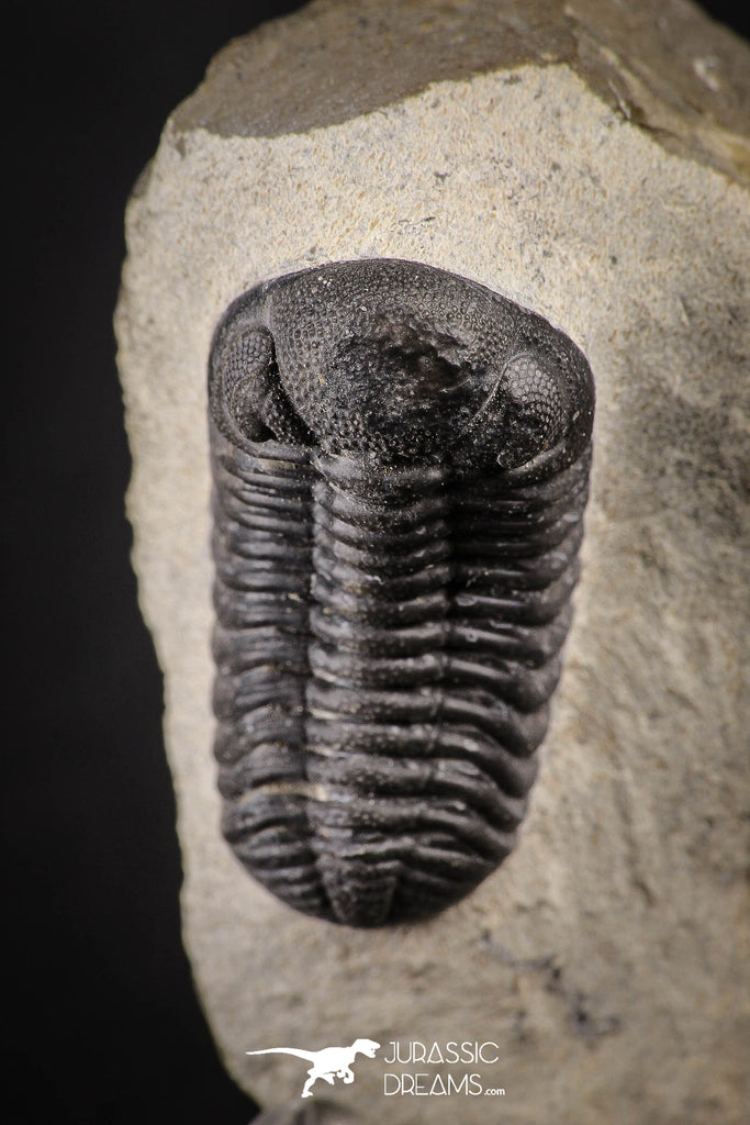 88137 - Well Prepared Austerops (Phacops) Lower Devonian Trilobite
