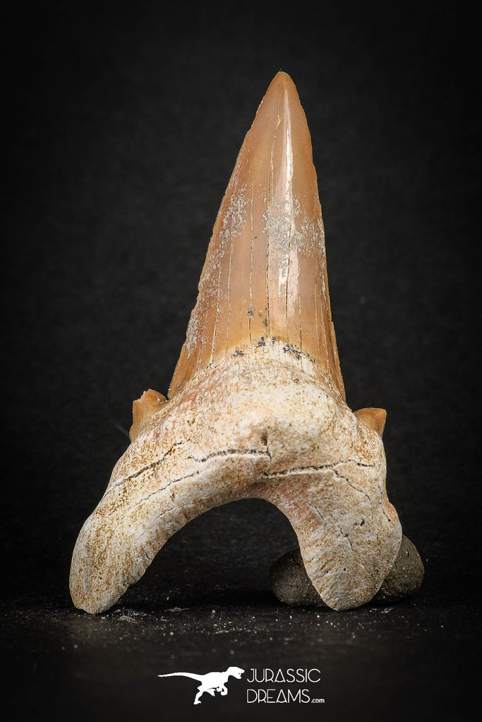 88197 - Top Huge 2.49 Inch OTODUS OBLIQUUS (mackerel shark) Tooth Paleocene