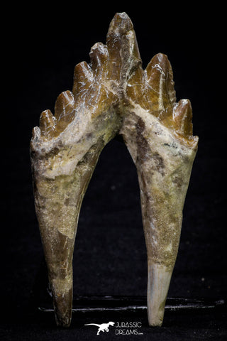 20580 - Top Rare 3.76 Inch Pappocetus lugardi (Whale Ancestor) Molar Rooted Tooth