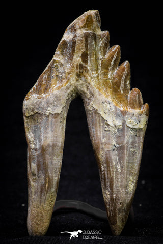 20581 -  Top Rare 3.19 Inch Pappocetus lugardi (Whale Ancestor) Molar Rooted Tooth