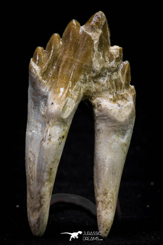 20582 -  Top Rare 2.81 Inch Pappocetus lugardi (Whale Ancestor) Molar Rooted Tooth