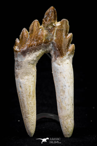 20583 -  Top Rare 2.87 Inch Pappocetus lugardi (Whale Ancestor) Molar Rooted Tooth