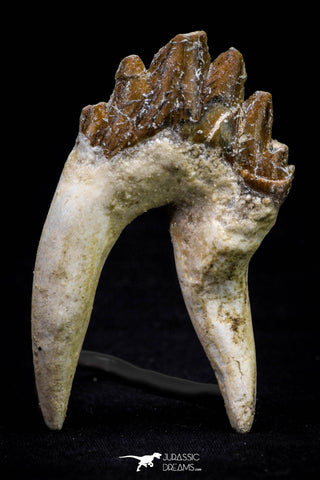 20584 -  Top Rare 2.83 Inch Pappocetus lugardi (Whale Ancestor) Molar Rooted Tooth