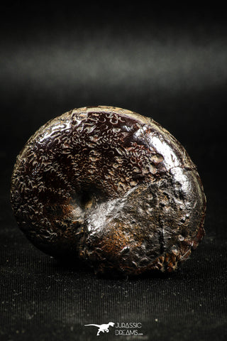 05026 - Beautiful Pyritized 1.79 Inch Phylloceras Lower Cretaceous Ammonites