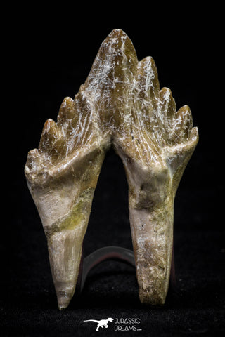 20585 -  Top Rare 2.62 Inch Pappocetus lugardi (Whale Ancestor) Molar Rooted Tooth