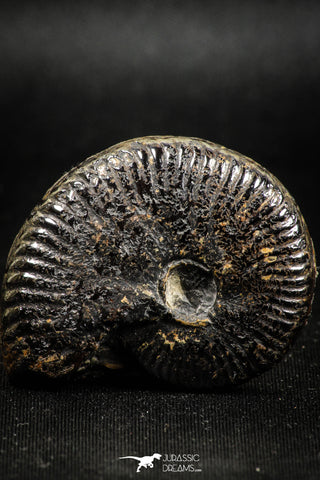05029 - Beautiful Pyritized 1.69 Inch Unidentified Lower Cretaceous Ammonites