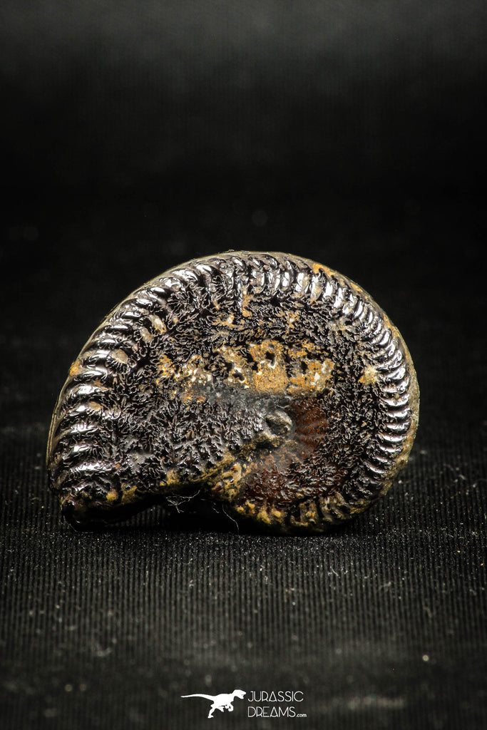 05030 - Beautiful Pyritized 1.33 Inch Unidentified Lower Cretaceous Ammonites