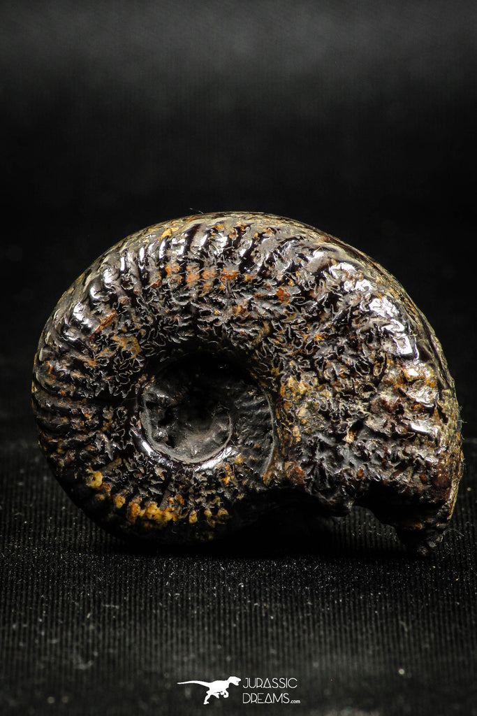 05031 - Beautiful Pyritized 1.54 Inch Unidentified Lower Cretaceous Ammonites