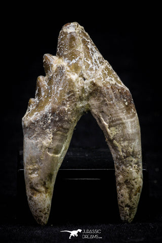 20589 -  Top Rare 2.25 Inch Pappocetus lugardi (Whale Ancestor) Molar Rooted Tooth