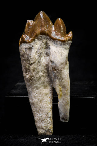 20590 -  Top Rare 1.94 Inch Pappocetus lugardi (Whale Ancestor) Molar Rooted Tooth