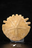 88243 - Top Beautiful 1.20 Inch Heliophora orbicularis (Urchin) Upper Pliocene