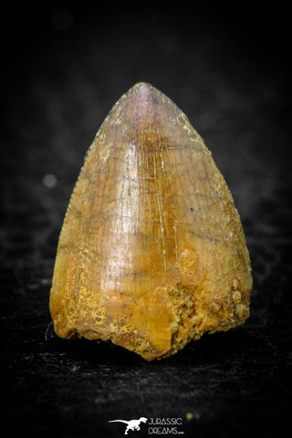 08107 - Top Beautiful 0.69 Inch Hamadasuchus rebouli Crocodile Tooth Cretaceous KemKem
