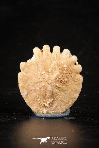 88248 - Top Beautiful 1.06 Inch Heliophora orbicularis (Urchin) Upper Pliocene