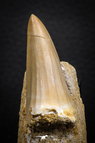 07692 - Top Rare Mosasaurus baugei 1.87 Inch Tooth in Matrix Late Cretaceous