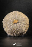 88251 - Top Beautiful 2.57 Inch Psammechinus miliaris (Sea Urchin) Upper Pleistocene