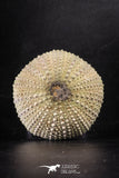 88254 - Top Beautiful 2.34 Inch Psammechinus miliaris (Sea Urchin) Upper Pleistocene