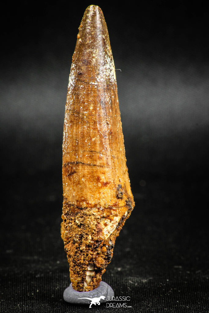 05040 -  Well Preserved 2.70 Inch Spinosaurus Dinosaur Tooth Cretaceous