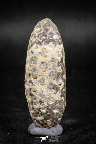 05042- Top Rare 2.03 Inch Fossilized Silicified Pine Cone EQUICALASTROBUS Eocene Sahara Desert