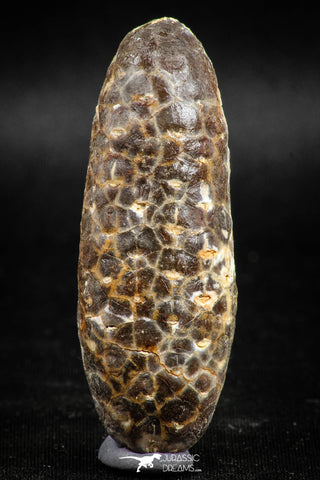 05043- Top Rare 2.35 Inch Fossilized Silicified Pine Cone EQUICALASTROBUS Eocene Sahara Desert