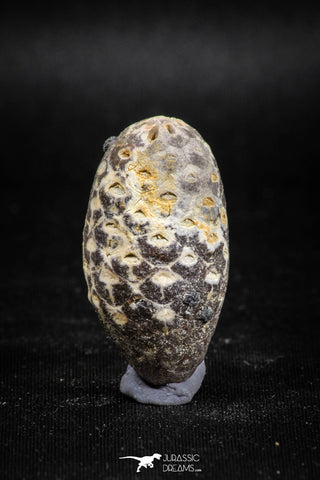 05045- Top Rare 1.44 Inch Fossilized Silicified Pine Cone EQUICALASTROBUS Eocene Sahara Desert