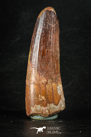 88270 - Top Quality Red 2.66 Inch Spinosaurus Dinosaur Tooth Cretaceous