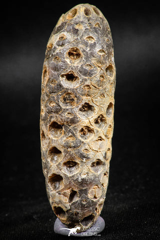 05047- Top Rare 2.39 Inch Fossilized Silicified Pine Cone EQUICALASTROBUS Eocene Sahara Desert