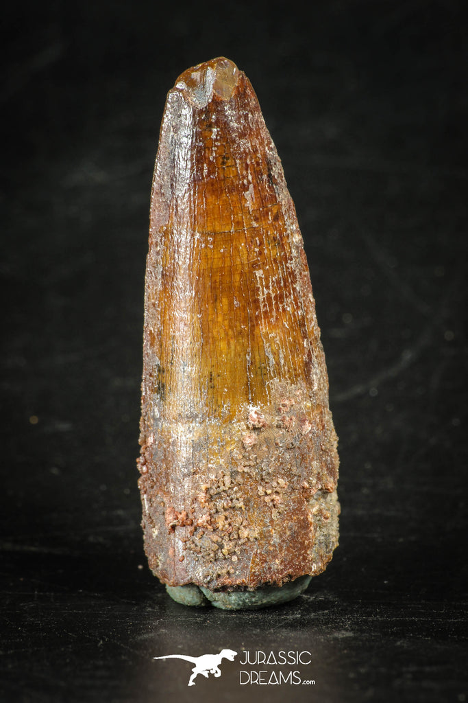 88275 - Top Quality Red 1.90 Inch Spinosaurus Dinosaur Tooth Cretaceous