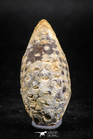 05048- Top Rare 1.57 Inch Fossilized Silicified Pine Cone EQUICALASTROBUS Eocene Sahara Desert