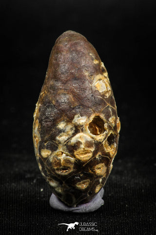 05049- Top Rare 1.43 Inch Fossilized Silicified Pine Cone EQUICALASTROBUS Eocene Sahara Desert