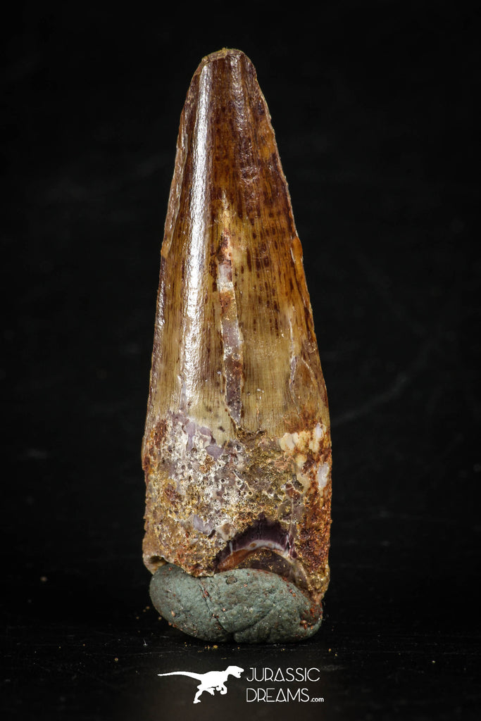 88280 - Top Quality Red 1.93 Inch Spinosaurus Dinosaur Tooth Cretaceous