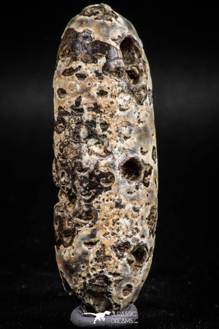 05051- Top Rare 2.54 Inch Fossilized Silicified Pine Cone EQUICALASTROBUS Eocene Sahara Desert