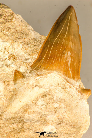 30765 - Top Quality 3.23 Inch Otodus obliquus Shark Tooth in Matrix Paleocene
