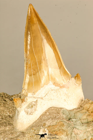 30766 - Top Beautiful 3.19 Inch Otodus obliquus Shark Tooth in Matrix Paleocene