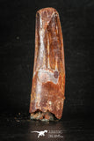 88269 - Top Quality Red 2.24 Inch Spinosaurus Dinosaur Tooth Cretaceous