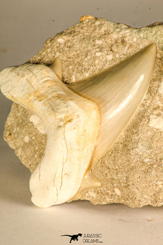 30767 - Well Preserved 3.09 Inch Otodus obliquus Shark Tooth in Matrix Paleocene