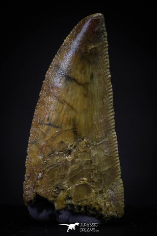 20596 - Collector Grade 0.92 Inch Abelisaur Serrated Dinosaur Tooth Cretaceous KemKem Beds