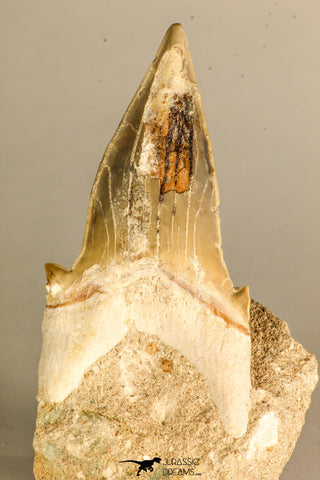 30768 - Top Huge 3.41 Inch Otodus obliquus Shark Tooth in Matrix Paleocene