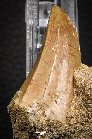 07844 - Rare 1.78 Inch Mosasaurus hoffmanni Tooth on Matrix Late Cretaceous