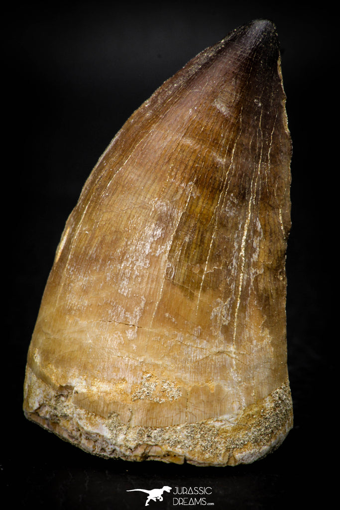 08138 - Well Preserved 2.32 Inch Mosasaur (Prognathodon anceps) Tooth Late Cretaceous