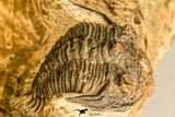30771 - Well Preserved 0.89 Inch Metacanthina issoumourensis Lower Devonian