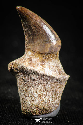 05062 - Top Quality 1.26 Inch Rooted Halisaurus walkeri (Mosasaur) Tooth Cretaceous