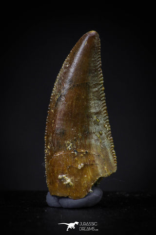 20604 - Well Preserved 0.76 Inch Serrated Abelisaur Dinosaur Tooth Cretaceous KemKem Beds