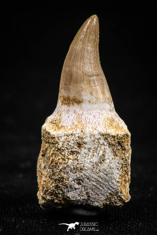 05063 - Top Quality 1.30 Inch Eremiasaurus heterodontus (Mosasaur) Tooth in Jaw Bone Cretaceous