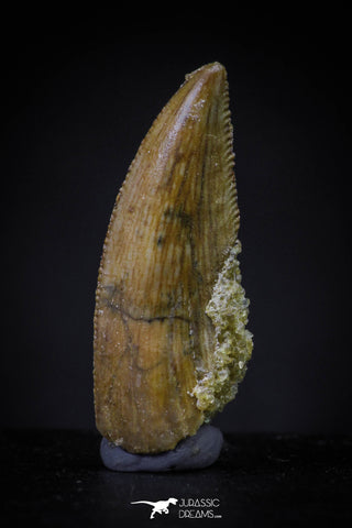 20608 - Top Beautiful 0.81 Inch Serrated Abelisaur Dinosaur Tooth Cretaceous KemKem Beds
