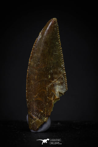 20609 - Dark Serrated 0.80 Inch Abelisaur Dinosaur Tooth Cretaceous KemKem Beds
