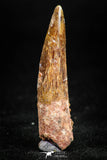 05070 - Beautiful 1.50 Inch Juvenile Spinosaurus Dinosaur Tooth Cretaceous