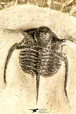 30779 - Beautiful 1.33 Inch Cyphaspis (Otarion) cf. boutscharafinense Devonian Trilobite