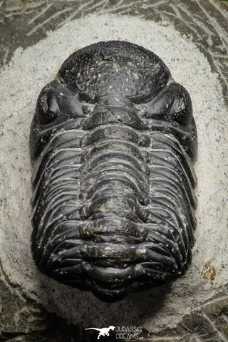 22059 - Top Detailed 2.04 Inch Austerops sp Lower Devonian Trilobite
