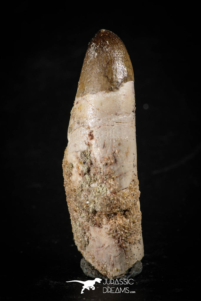 88393 - Top Rare Rooted 1.88 Inch Unidentified Crocodile Tooth KemKem