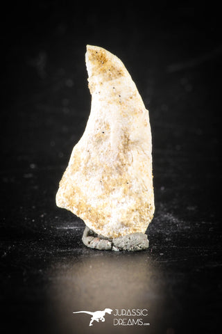 88400 - Top Rare Undescribed Pharyngeal Tooth Of Unidentified Cretaceous Fish KemKem